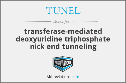 TUNEL - transferase-mediated deoxyuridine triphosphate nick end tunneling