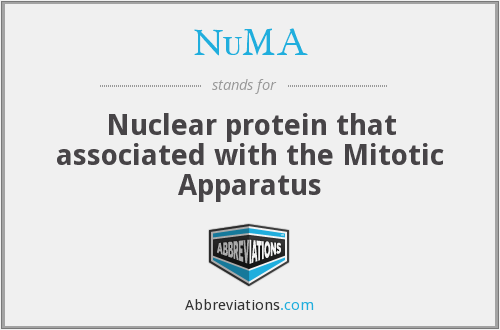 NuMA - Nuclear protein that associated with the Mitotic Apparatus